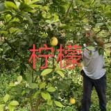 四川柠檬树批发 柠檬树5公分 20公分柠檬树价格