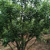 四川苹果树 苹果树多少钱一棵