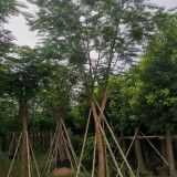 福建凤凰木批发 18公分20公分25公分凤凰木价格