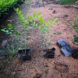 七里香盆栽价格 漳州七里香苗产地直供报