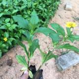 蟛蜞菊价格 南美蟛蜞菊 福建蟛蜞菊苗圃专供