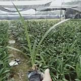 福建水鬼蕉价格 批发 漳州水鬼蕉苗厂家出售