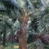 4米高中东海枣价格 中东海枣厂家批发市场价格