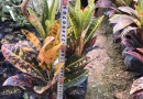 变叶木基地批发 海南变叶木多少钱一棵