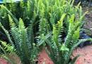 肾蕨价格 肾蕨基地批发 五斤袋肾蕨
