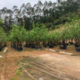 柚子树基地 4米高柚子树报价 柚子苗直销产地