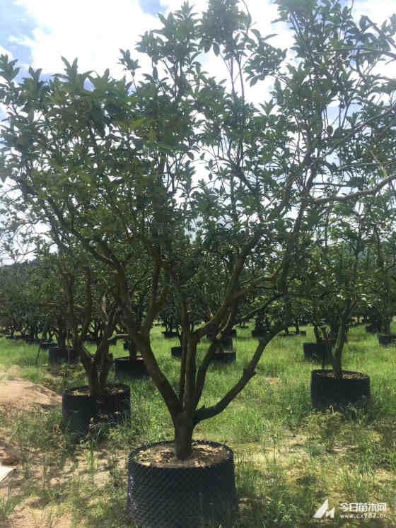 3米高柚子树多少钱一棵 基地批发柚子树价格