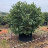 杨梅树批发 福建基地 3米杨梅树出售