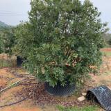 杨梅树价格 杨梅树基地 2.5米杨梅树多少钱一棵