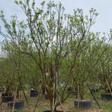 香泡树去哪买 2米香泡树多少钱一棵 基地批发