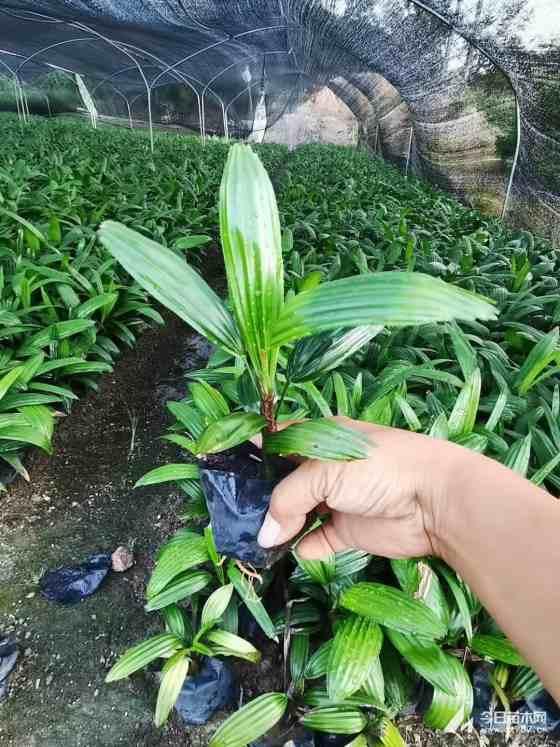 棕竹价格 棕竹小苗 福建棕竹苗种植基地出售
