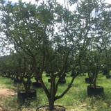 柚子树价格 福建柚子树批发 柚子树供应商