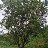 四川柚子树 成都柚子树批发基地