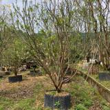 福建香泡 3米香泡树批发报价 香泡树价格表