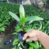 棕竹苗价格 棕竹袋苗批发 漳州厂家直供