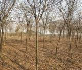 榉树价格 榉树产地批发 8公分榉树多少钱一棵