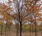 安徽榉树 榉树批发价格 基地出售10公分榉树