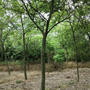 安徽朴树价格 朴树产地供应 10公分朴树多少钱