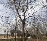 18公分朴树价格 产地批发 安徽朴树市场价