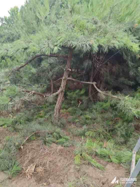 造型油松基地批发 河北造型油松
