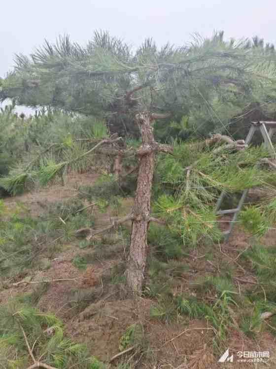 河北造型油松基地批发 造型油松多少钱一棵