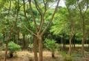 15公分红皮榕价格 小叶红皮榕 福建红皮榕种植基地直销