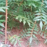 黄连木树苗价格 黄连木苗木基地