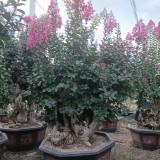 天鹅绒紫薇桩价格 福建漳州紫薇盆景厂家出售