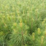 湿地松杯苗价格 湿地松基地批发