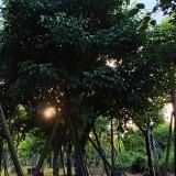 秋枫树价格 秋枫基地批发 秋枫树多少钱一棵?