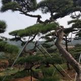 山东造型油松绿化苗木厂家报价 造型油松价格表