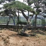 山东大型油松基地批发 造型松树价格 行情