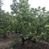 柿子树多少钱一棵 江苏基地柿子树价格