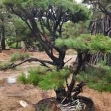 造型油松哪里便宜 10公分造型油松基地便宜批发