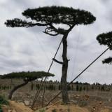 15公分造型油松多少钱一棵 批发 山东造型松出售报价