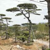 20公分造型油松哪里有卖 莱芜油松基地批发价格