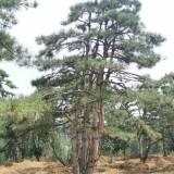 山东基地油松盆景直销 10公分造型油松价格