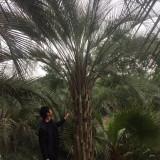 布迪椰子价格布迪椰子基地1米布迪椰子批发