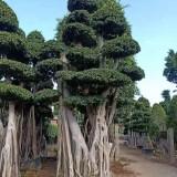 5米6米造型小叶榕价格 漳州小叶榕苗木批发