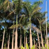 批发大王椰子价格 福建产地直销 大王椰子供应