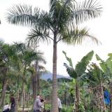 福建大王椰子 产地供应大王椰子树 5米大王椰子价格