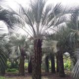 布迪椰子基地 出售布迪椰子树 1.5米布迪椰子树价格