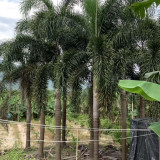 狐尾椰子价格 狐尾椰子树批发 福建产地供应