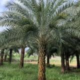 中东海枣供应价格 中东海枣批发 漳州基地直供