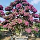 福建紫三角梅批发 紫花造型三角梅盆景基地直供