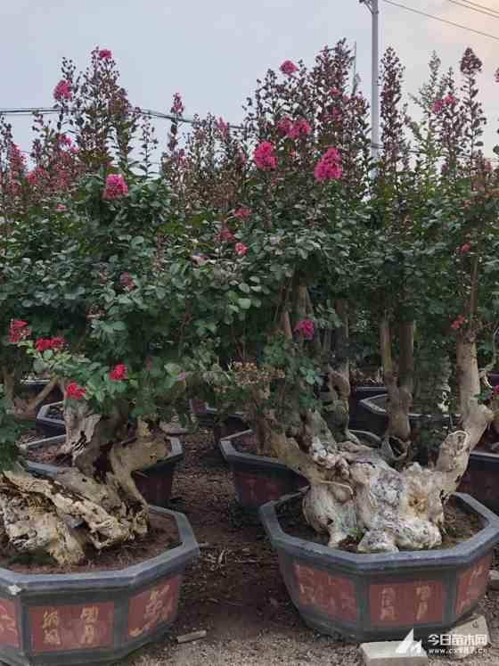 1米高紫薇桩景价格 1.5米高紫薇桩景批发 福建厂家出售