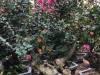 漳州2米2.5米紫薇桩景价格 紫薇树盆景基地批发