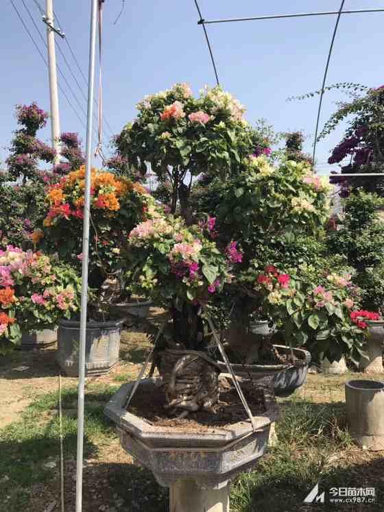 红花三角梅桩景 3.5米三角梅树桩盆景价格 漳州基地批发