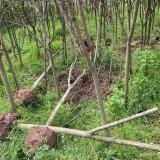 日本早樱基地批发 湖北早樱价格 早樱树多少钱一棵