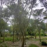 8公分红皮榕多少钱一棵 哪里有卖红皮榕树